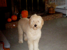 Goldendoodles For Sale In Virginia Beach