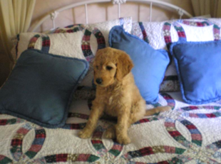 Goldendoodle Puppies Dogs For Sale In Michigan F1